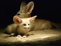 Fennec fox pup. With mum Stock Photo