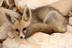 A Fennec Fox Resting Royalty Free Stock Images