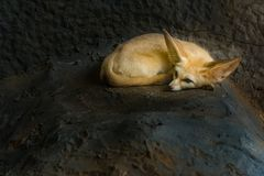 A Fennec fox is resting in a den. A Fennec fox is resting and isolated in a den royalty free stock photo