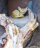 Fennec Fox. The fennec fox, seen here resting in an alcove. Native to the Sahara in North Africa, this one here is photographed in a zoo in the United States Royalty Free Stock Photo