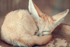 Fennec fox. selective focus stock photography