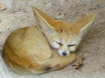 A Fennec Fox sleeping Royalty Free Stock Image
