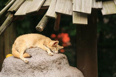 Fennec fox sleeping on the rock Stock Images