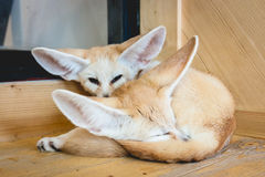 Fennec fox sleeping on a wood Stock Images
