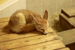 Fennec Fox sleeping Royalty Free Stock Photos