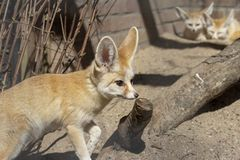 Fennec fox standing in front, and two Fennec foxes at the back. royalty free stock photography