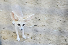Fennec fox in Tozeur Zoo Royalty Free Stock Photos