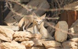 Fennec fox Vulpes zerda stock images