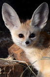 Fennec Fox (Vulpes zerda) Royalty Free Stock Images