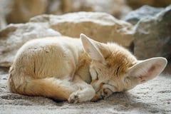 Free Fennec Fox Vulpes Zerda Royalty Free Stock Image - 88555096