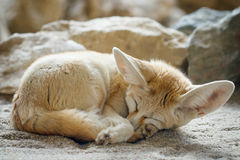 Fennec fox Vulpes zerda Royalty Free Stock Image