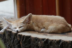 Fennec Fox - Vulpes zerda Stock Images