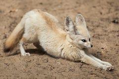 Fennec fox Vulpes zerda. Stock Image