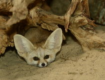 Fennec fox. (Vulpes zerda) - front view from hiding place Royalty Free Stock Images