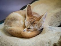 Fennec fox vulpes zerda sleeping peacefully in a curled up position royalty free stock image