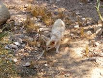A desert fox fennec fox royalty free stock photos