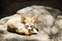 The fennec fox Vulpes zerda Stock Photos