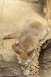 Fennec fox (Vulpes zerda) Royalty Free Stock Photo