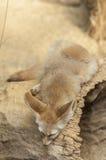 Fennec fox (Vulpes zerda) Royalty Free Stock Photo
