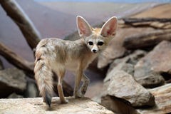 Fennec fox (Vulpes zerda). Stock Photography