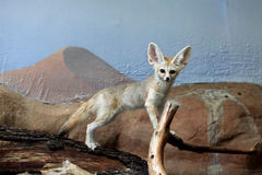 Fennec fox (Vulpes zerda). Stock Photo