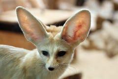 Fennec fox (Vulpes zerda). Royalty Free Stock Photos