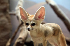 Fennec fox (Vulpes zerda). Royalty Free Stock Photography