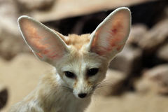 Fennec fox (Vulpes zerda). Stock Photos