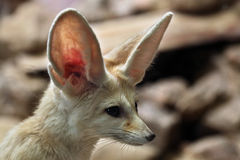 Fennec fox (Vulpes zerda). Royalty Free Stock Images