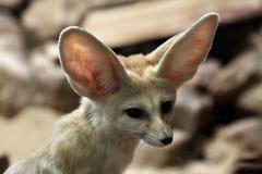 Fennec fox (Vulpes zerda). Stock Image