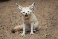 Fennec fox Vulpes zerda. Wildlife animal stock photos