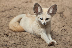 Fennec fox Vulpes zerda. Royalty Free Stock Image