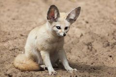 Fennec fox Vulpes zerda. Wildlife animal Stock Photography
