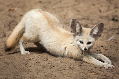 Fennec fox Vulpes zerda. Wildlife animal Royalty Free Stock Photo