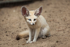 Fennec fox Vulpes zerda. Wildlife animal Stock Image