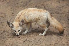 Fennec fox Vulpes zerda. Stock Photo
