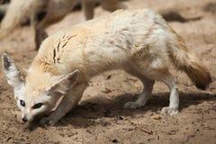 Fennec fox Vulpes zerda. Royalty Free Stock Photography