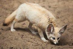 Fennec fox Vulpes zerda. Stock Photography
