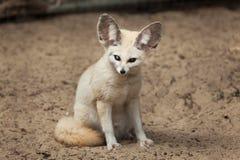 Fennec fox Vulpes zerda. Royalty Free Stock Image
