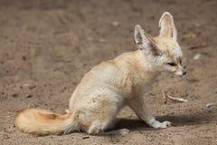 Fennec fox Vulpes zerda. Royalty Free Stock Photos