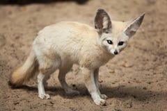 Fennec fox & x28;Vulpes zerda& x29;. Royalty Free Stock Images