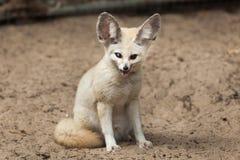 Fennec fox & x28;Vulpes zerda& x29;. Stock Photo
