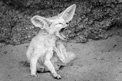 Fennec Fox yawning in black and white stock images