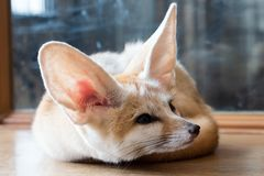 Fennec fox 1 year isolate on background stock photo