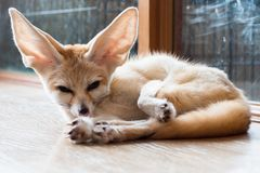 Fennec fox 1 year isolate on background stock photos