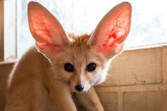 Fennec fox 1 year in puppy day isolate on background stock image