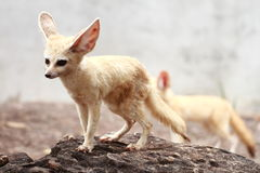 Fennec fox Royalty Free Stock Photos