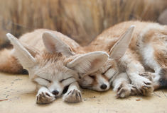 Fennec foxes Royalty Free Stock Photos
