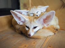 Fennec foxes. Two fennec foxes lying on the floor Stock Images