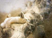 Fennec foxes - Vulpes zerda - on a dry log. Two fennec foxes - Vulpes zerda - on a dry log Stock Photo